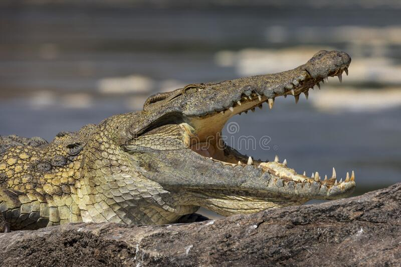 Head of a Nile crocodile with an open mouth royalty free stock image