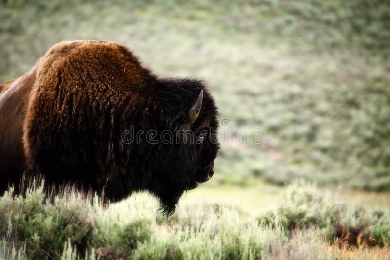 Head och skuldra av en imponerande brun manlig buffel royaltyfria foton