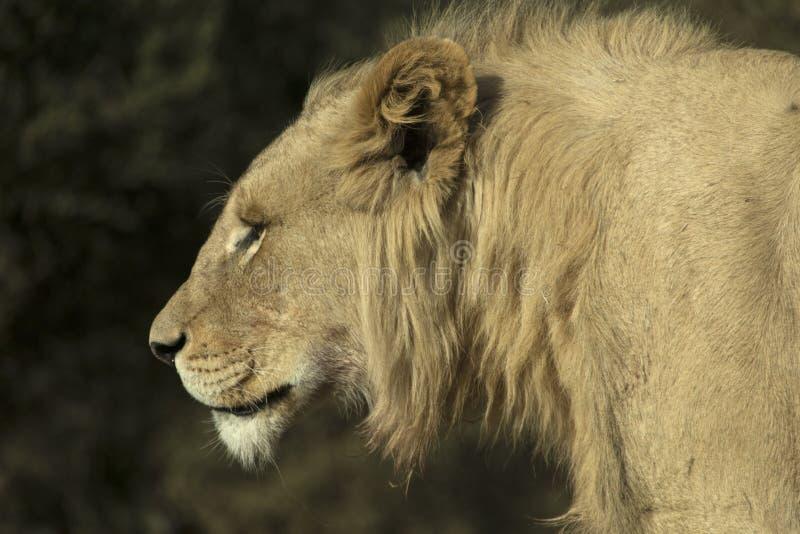 Head och skuldrafotografi av ett ungt manligt vitt lejon royaltyfri bild