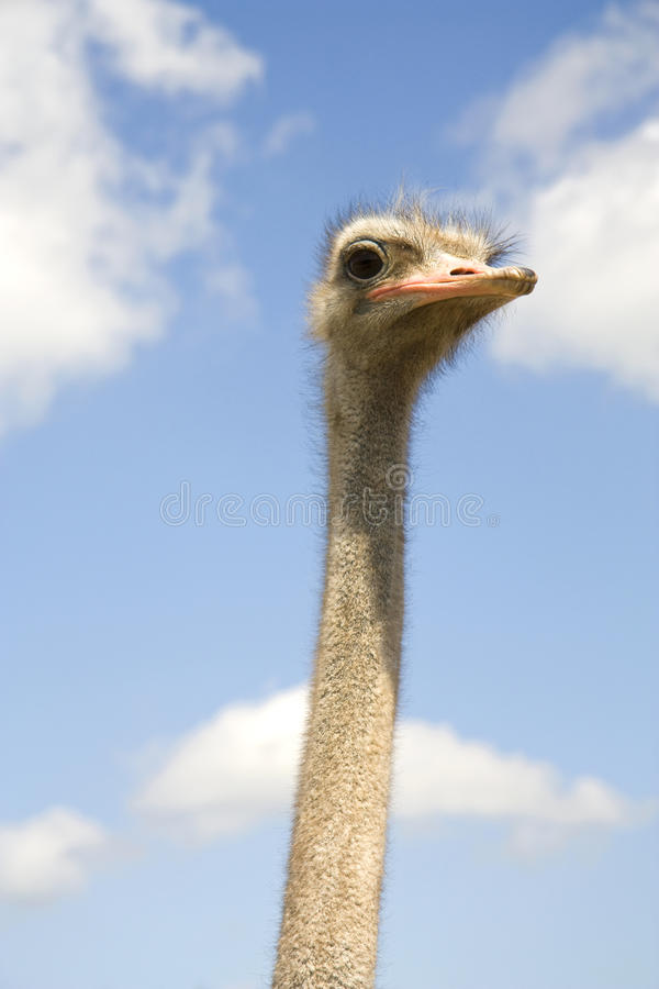 Free Head Of An Ostrich Royalty Free Stock Photography - 14880677