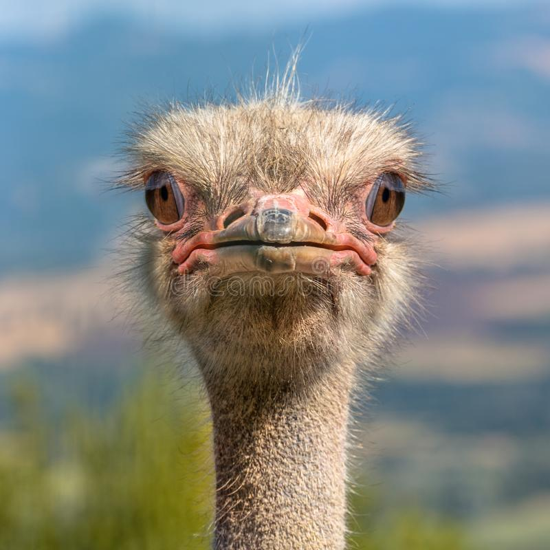 Free Head Of An Ostrich Frontal View Royalty Free Stock Photography - 146728677