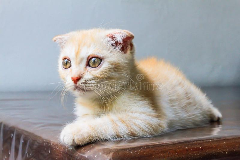 Head of orange little Persian cat looking forward. On the table royalty free stock photo