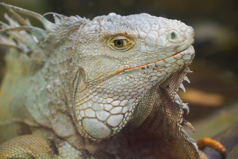 The head of an ordinary iguana. Close up royalty free stock photography