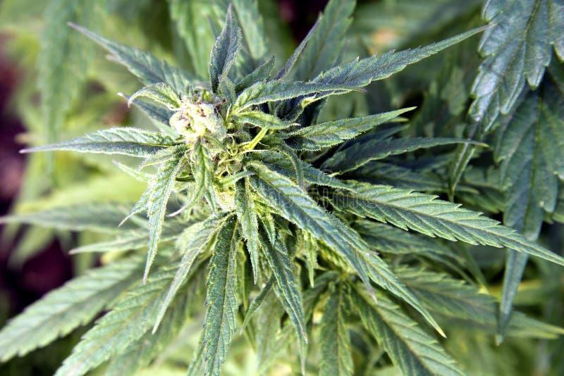 A head of organic Cannabis royalty free stock photos