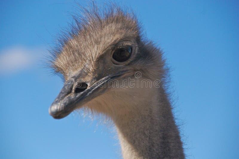 head ostrich royaltyfri foto