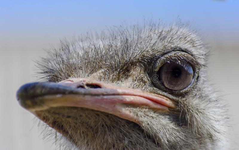 Surprised Ostrich Photos Free Royalty Free Stock Photos From Dreamstime