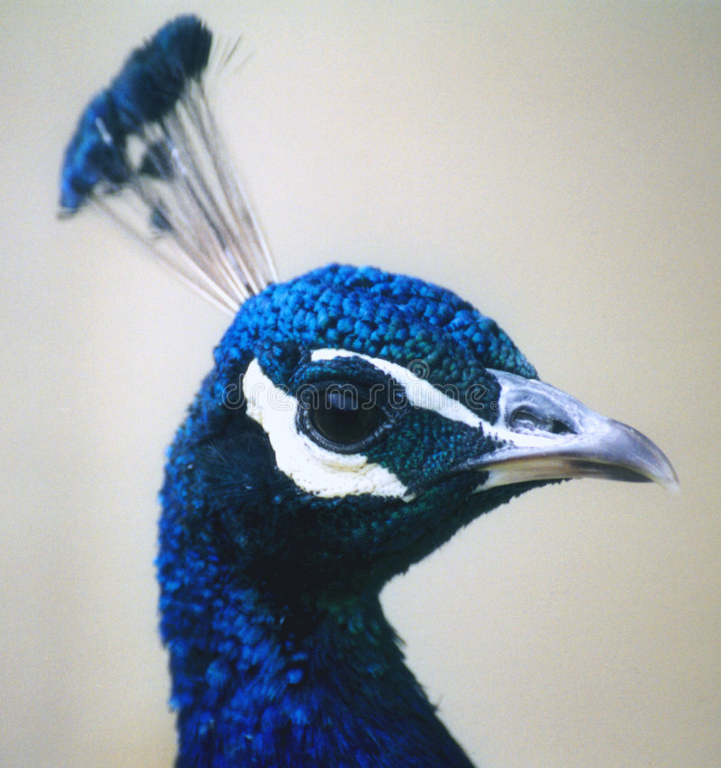 Head Påfågel Arkivfoton