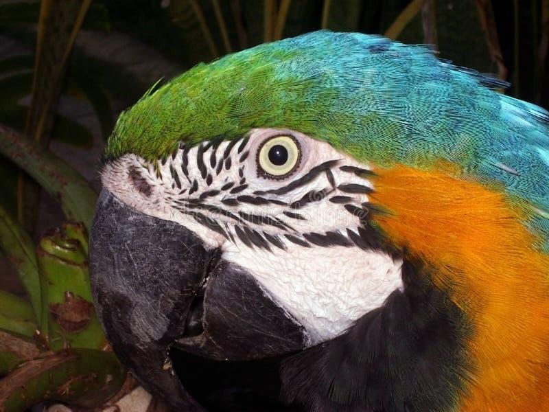 head papegoja arkivfoton