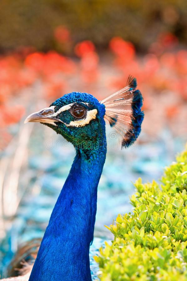 Head Peacock Royalty Free Stock Images