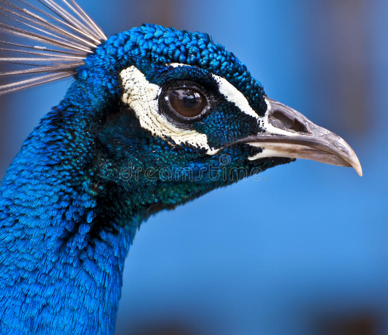 Head of a Peacock stock photos