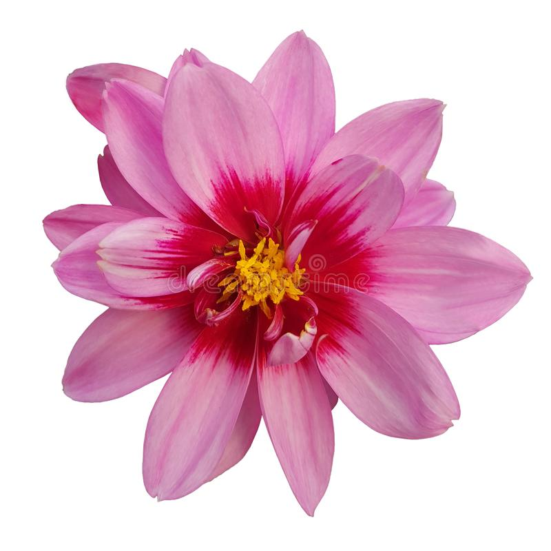 Head of pink flower like daisy and chrysanthemum on white background stock photo