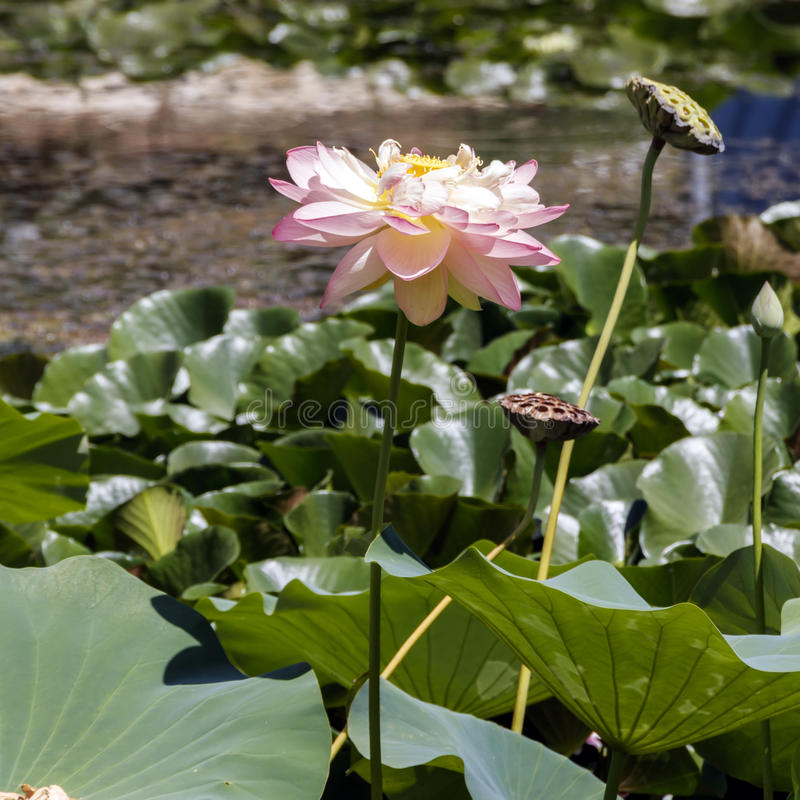 Head of pink lotus flower close up. royalty free stock photos