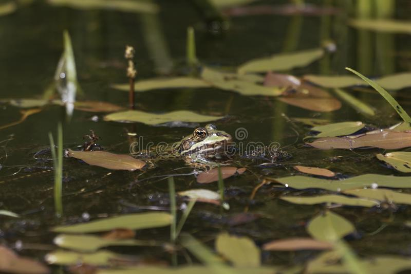Head of a pool frog royalty free stock images