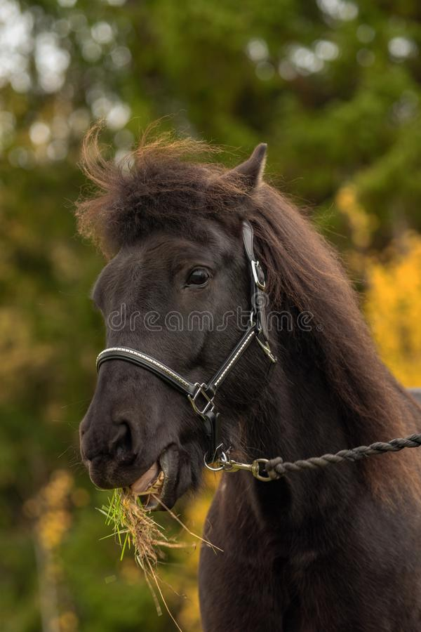 Head portrait of a black Icelandic horse with grass in its mouth royalty free stock image