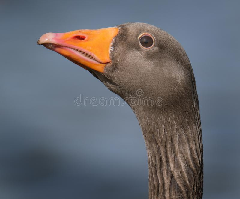 Head portrait of greylag goose. stock image