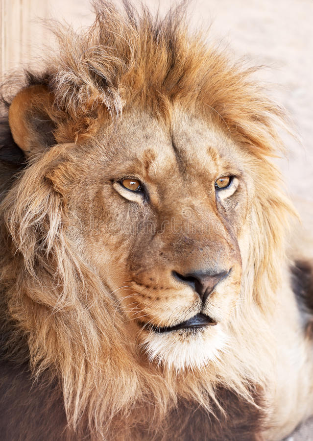 Head portrait of lion animal. Animal head portrait of african male lion royalty free stock image