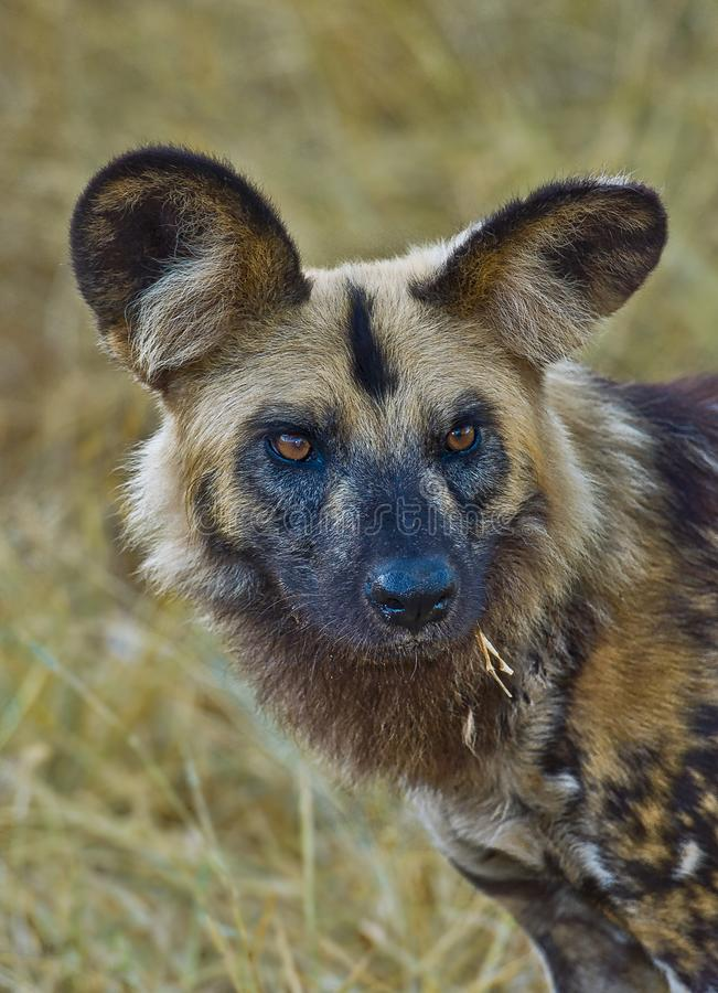 Wild dog portrait in Africa royalty free stock image