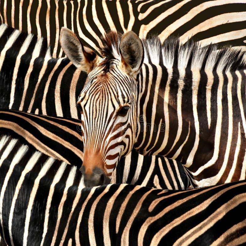Zebra and stripes royalty free stock photos