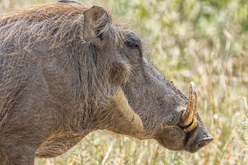 Head profile of a common warthog royalty free stock photo