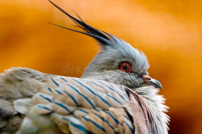 Head of a puffed crested pigeon in profile view royalty free stock image