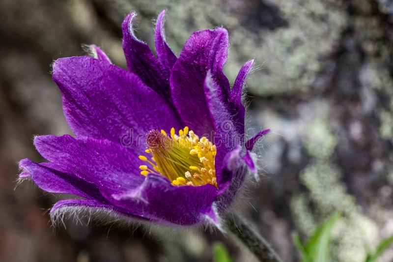 The head of a purple flower Pulsatilla vulgaris. The rock in the background stock images