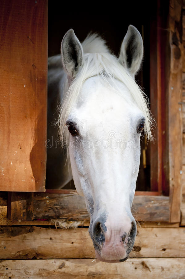 Head racehorse looks out of the window stall stock photos