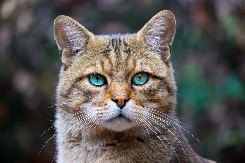 Head of a rare european wildcat with striking bright blue-green eyes in frontal view. Head of a rare european wildcat felis silvestris silvestris with striking stock photo