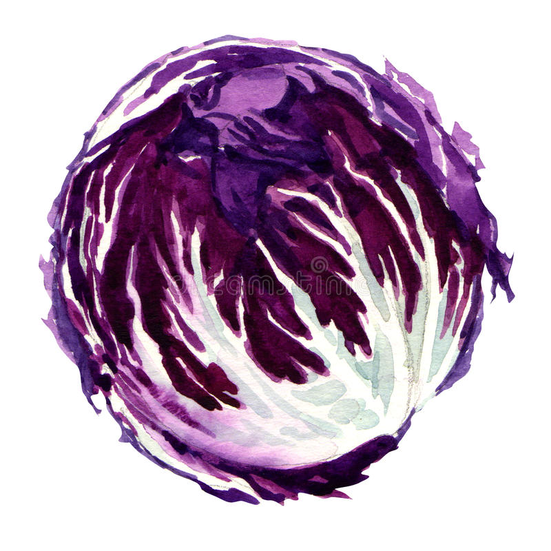 Head of red cabbage vector illustration