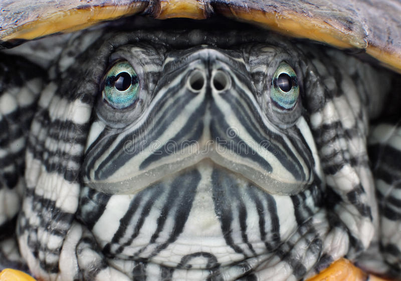Head red-eared slider. Closeup view royalty free stock photo