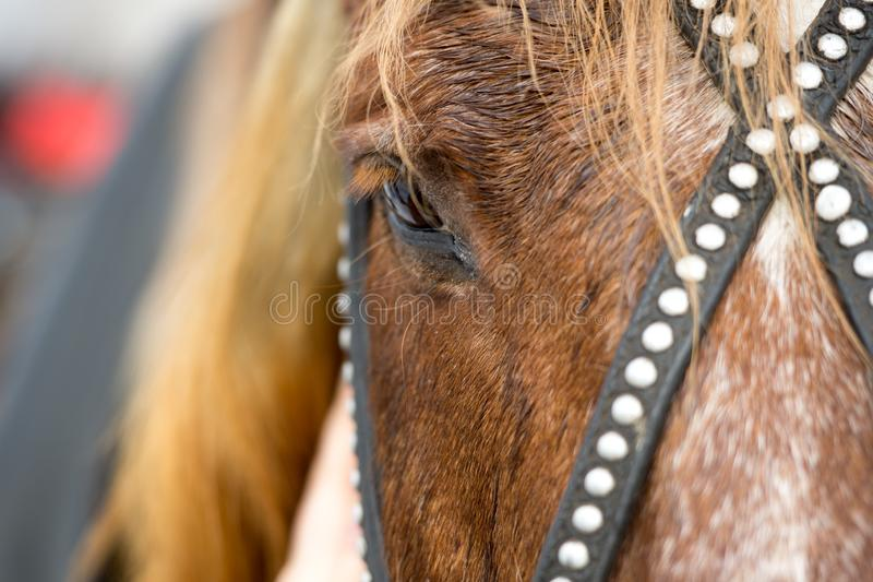 head of a red horse in a bridle stock photo