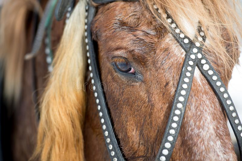 head of a red horse in a bridle royalty free stock photo