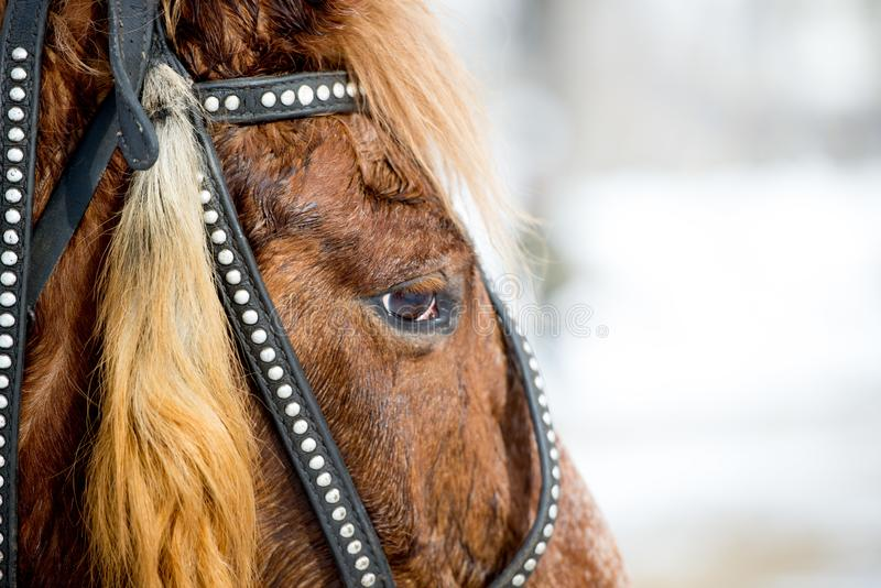 head of a red horse in a bridle royalty free stock photos