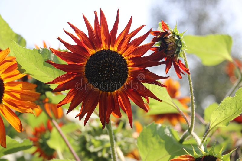 Head of the red sunflower in a garden in the Netherlands on the veluwe stock image