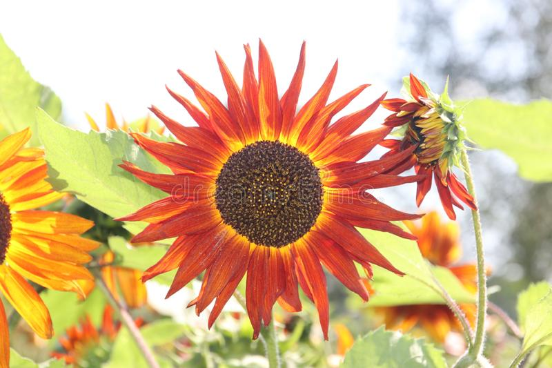 Head of the red sunflower in a garden in the Netherlands on the veluwe stock photo
