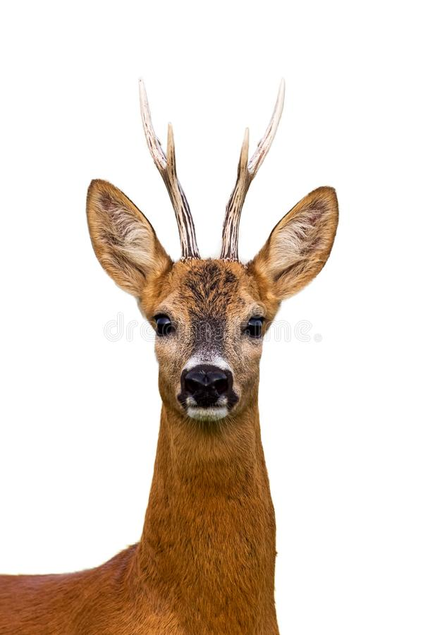 Head of roe deer buck isolated on white royalty free stock photography