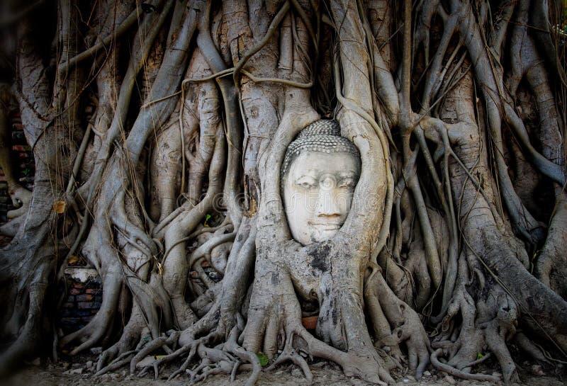 Head& x27; s Buddha w drzewnych korzeniach zdjęcie royalty free