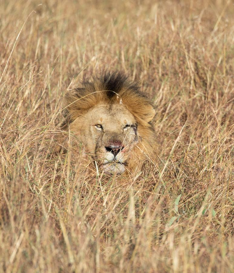 Head of Sand River or Elawana Pride male lion, Panthera leo, emerging from tall grass of Masai Mara in Kenya. Africa royalty free stock image