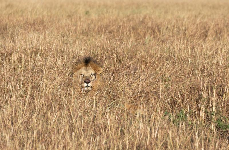 Head of Sand River or Elawana Pride male lion, Panthera leo, emerging from tall grass of Masai Mara in Kenya. Africa stock photos