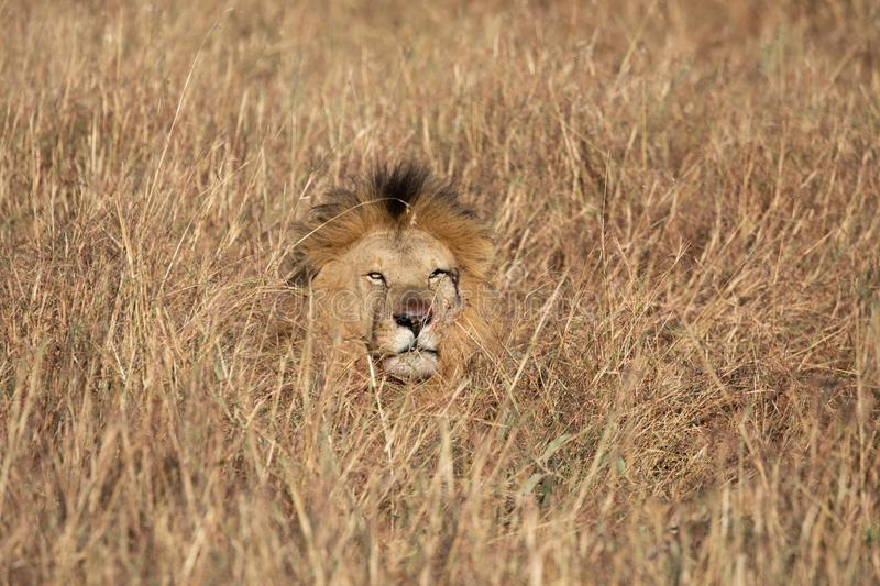 Head of Sand River or Elawana Pride male lion, Panthera leo, emerging from tall grass of Masai Mara in Kenya. Africa stock image