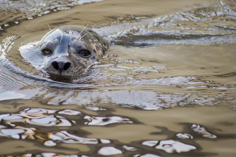 Head of a seal in a pond of a park royalty free stock photo