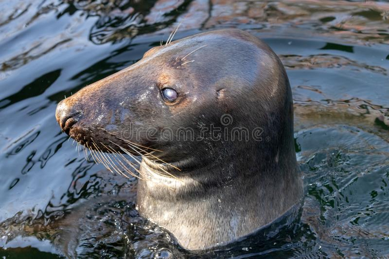 The head of a seal sticking out of the water royalty free stock photos