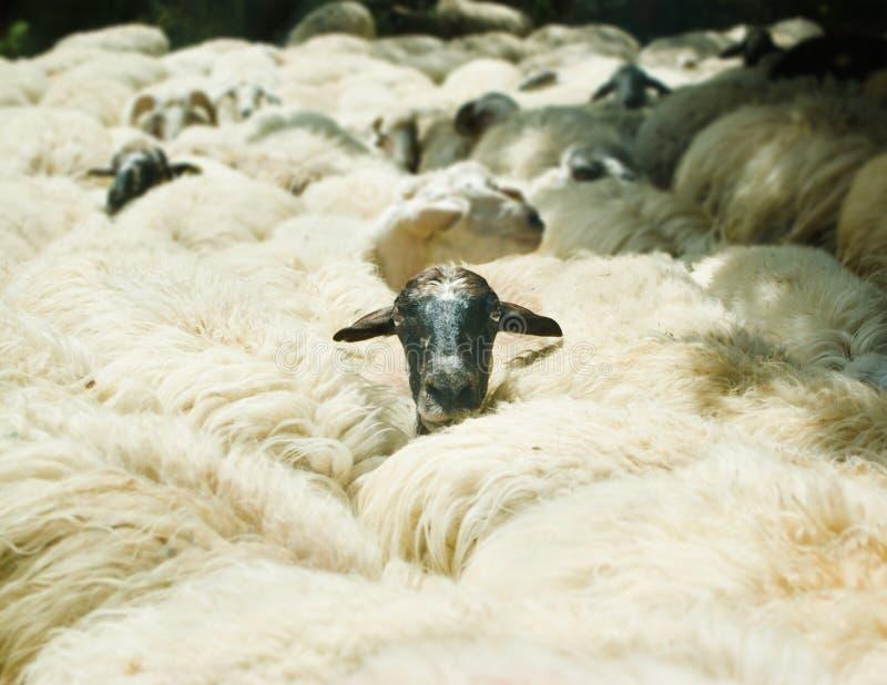 Head of sheep stock image