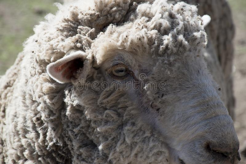 Head of a sheep royalty free stock photo