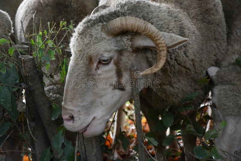 Head of sheep or sheep royalty free stock photos