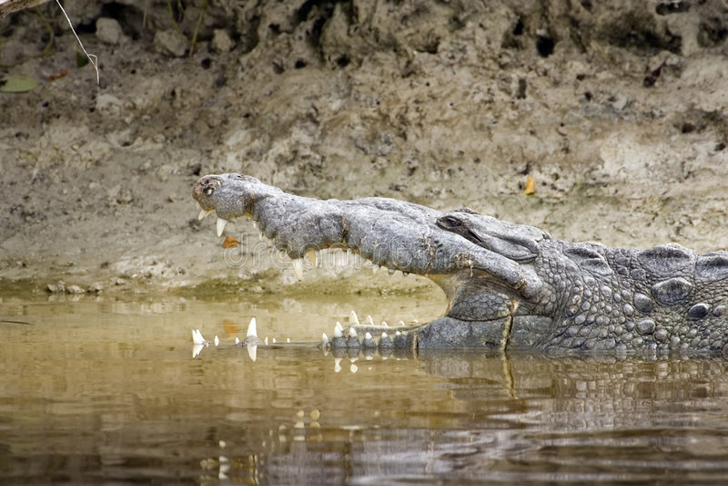Head shot of an American Crocodile royalty free stock photo