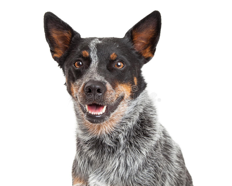 Download Head Shot Of An Australian Cattle Dog Stock Photo - Image of breed, copy: 46319244