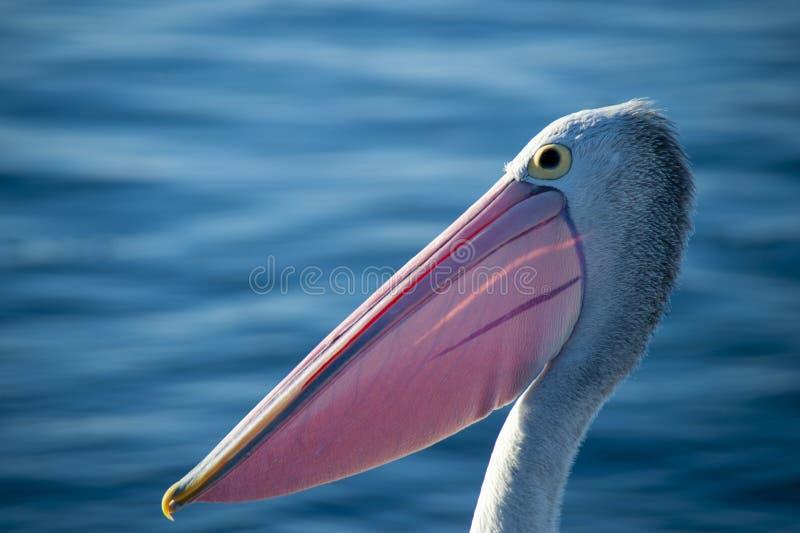 Head Shot of an Australian Pelican royalty free stock photo