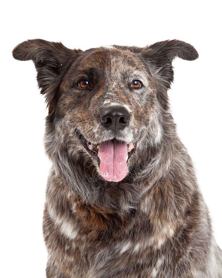 Head Shot of Australian Shepherd Mix Breed Dog. Facing forward royalty free stock photography