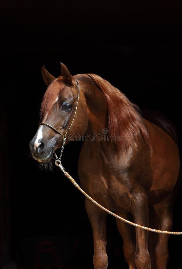 Head shot of a bay arabian horse stock photo
