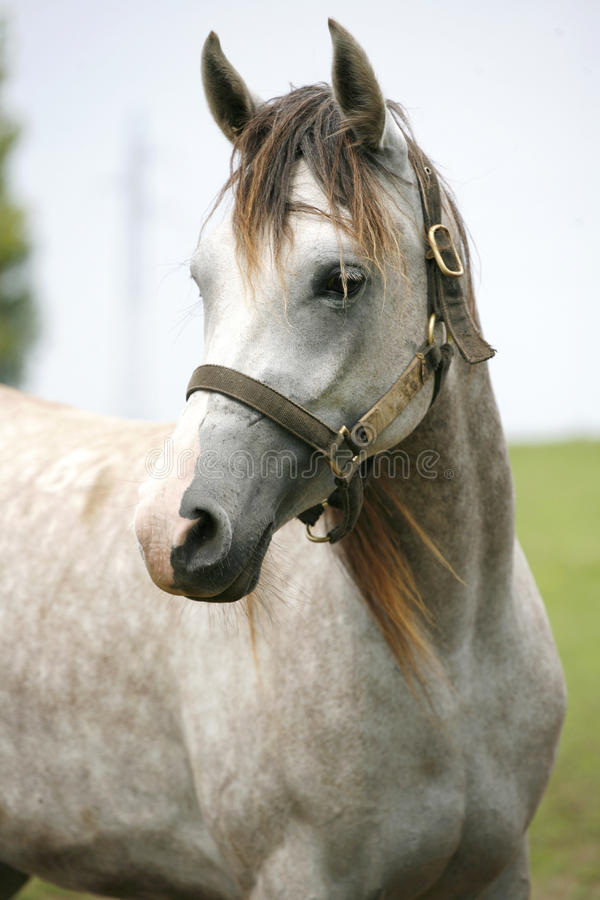 Head shot of a beautiful arabian horse. Portrait of a beautiful arabian white horse. Close-up of a gray youngster in summer paddock stock images
